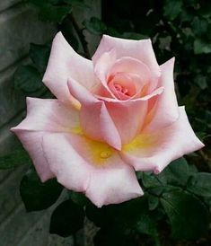 how far apart should hybrid tea roses be planted Pretty Roses, Beautiful Roses, Lavender Roses, Pink Roses, Flowers Nature, Love Flowers, Rose Reference, Realistic Rose, Indian Paintbrush