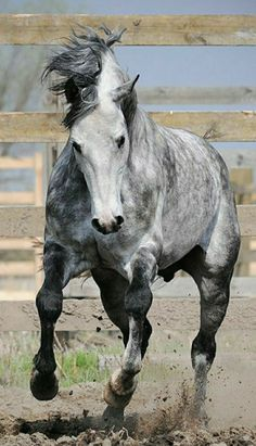 Ready to run, Arab - equestrian. All The Pretty Horses, Beautiful Horses, Animals Beautiful, Horse Photos, Horse Pictures, Animals And Pets, Cute Animals, Clydesdale, Horse Ears