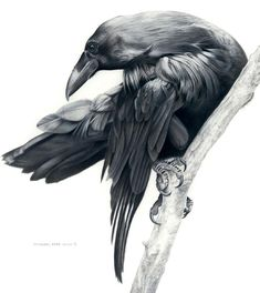 Raven Study - Common Raven, orginal wildlife mixed media drawing on masonite is sold. Framed limited edition giclée wildlife print on canvas is available by Canadian wildlife artist Michael Pape.