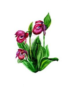 Watercolor: the rare Lady's Slipper Orchid (Cypripedium calceolus)