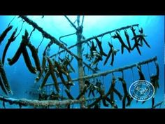 """The Coral Restoration Foundation is growing corals in an underwater """"nursery"""" by hanging them from wires on man-made """"trees""""  More great underwater video."""