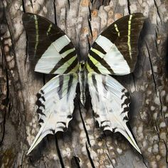 Graphium androcles, common name Giant Swordtail, is a butterfly of the genus Graphium belonging to the family Papilionidae.Graphium androcles can be found in Indonesia (Sulawesi, Sula Islands).
