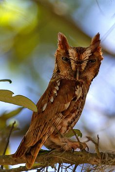 "Photo of the Day: ""What Are You Looking At?"" Screech-Owl-Steves by Robert Strickland, via Flickr"