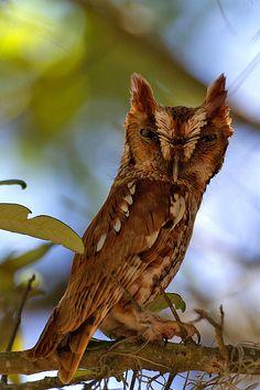 Screech-Owl-Steves by Robert Strickland, via Flickr