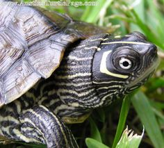 Turtle care sheets and info for numerous types of turtles