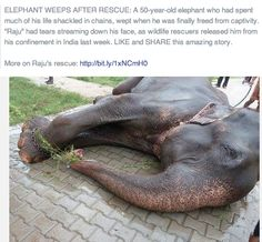 Elephant weeps after being released from captivity after 50 years... GOD BLESS ANIMAL RESCUE S.O.S. who saved him.