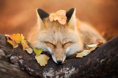 Sleepy fox - More photos: https://www.facebook.com/IzaLysonArts