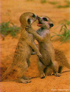 Meerkat babies playing in the #African desert. #adventuretravel #safari