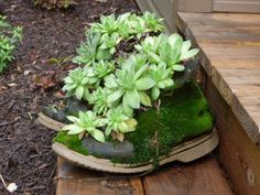 I was thrilled to see the huge choice of succulents at stores near me. Lowe's had an especially nice selection this summer. The succulents in these boots are 18 years old. They have lived through every winter, close to our home but not under roof. They are popularly known as Hens and Chicks. They have babies easily …