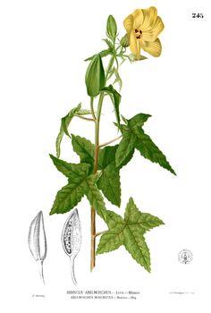 El aceite esencial se extrae de las semillas del arbusto abelmosco. Es muy apreciado en perfumeria, aunque puede producir reacciones de fotosensibilidad en algunas personas.  Por sus propiedades potencialmente alteradoras del sistema endocrino,  productor de las feromonas, y debido a la persistencia y bioacumulación de los almizcles,  se ha regulado en la Comisión Europea su etiquetado y restringido su utilización en cosmética.       Se utiliza en aromaterapia para el tratamiento de la…