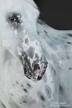 Appaloosa, leopard pattern with halo or peacock spots~~::