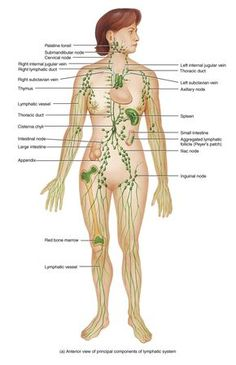 Diagram Of The Lymph Nodes In Body Human Anatomy All Teeth