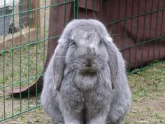 well, i think i'll take a chance on the sisters as they are from a Breeder whos registered with the British Rabbit assosiation thingy! Funny Bunnies, Cute Bunny, Flemish Giant Rabbit, Lop Eared Bunny, Rabbit Baby, Guinea Pigs, Hare, Cute Animals, Creatures
