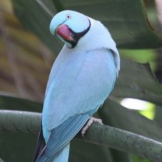 Beautiful Pink Pet Birds | This beautiful blue Ring-necked (Rose-ringed) Parakeet is feral -- an ...