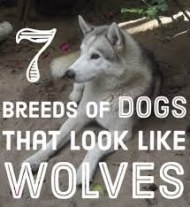 Funny fact and picture about dogs look like dogs look like wolves. Follow me for more funny. #North Inuit Dog #Siberian Husky #Alaskan Malamute #German Shepherds #Wolf Dog Blends #Czechoslovakian Wolfdog #Canadian Eskimo Dog #Pomsky #Alusky #Finnish Lapph