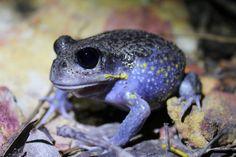 "gumnutnaturalist:  "" Heleioporus australiacus on Flickr.  ""  Giant Burrowing Frog"