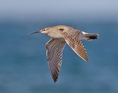 whimbrel in flight from @WildCrail