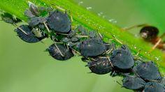 El pulgón, una plaga que puede llegar a debilitar mucho nuestros cultivos. Aquí te explicamos las formas más efectivas para combatirlo de manera ecológica. ️
