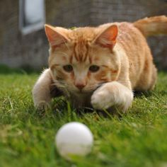 I waszzz playing #soccer today. And I waszzz the best of the best #keeper playing for the Dutch team in #orange!  #orange #orangecat #soccer #football #activecat #playingoutside #playingcat #catplay #catlife #catboy #instacat #catstagram #redcat #redcat #gingercat #gingercatsofinstagram #meow #macho #meow-macho #catplay #catplaying #catpic #sportingcat #keeper #sportcat #catsport #play by hidde_cat
