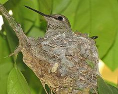 How to Attract Nesting Hummingbirds - main components include proper food, shelter, nesting materials (down, cotton fibers, moss), and safety (attracting too much bird traffic can discourage nesting).