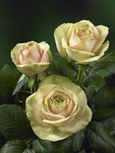 'Pitahaya Light' roses from Kordes Roses International b.v.