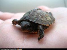 tiny tiny turtle