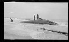 Whale ashore Cape Cod