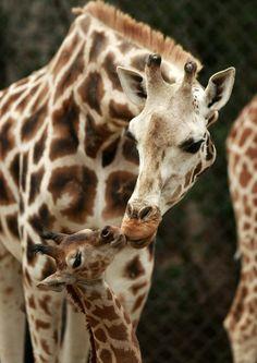 giraffe-Animals Kiss