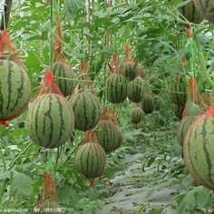 The watermelon hammock- Growing watermelons vertically. Organic Gardening, Garden Projects, Organic Vegetable Garden, Plants, Organic Gardening Tips, How To Grow Watermelon, Container Gardening, Farm Gardens, Watermelon Plant