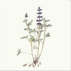 Bicolor (miniature) lupine