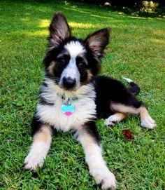 tri color - German Shepherd Dog Forums |Tri Color German Shepherd Breeders