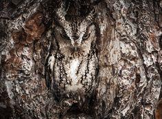 Eastern Screech Owl by Graham McGeorge