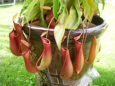 Nepenthes the Pitcher Plant also known as Monkey Cups