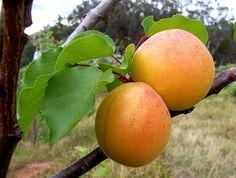 Aprikose / Apricot + Obst - Früchte / Fruit