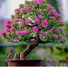 How Herb Back Garden Kits Can Get Your New Passion Started Off Instantly Species Bougainvillea Bonsai Acer, Bonsai Soil, Bonsai Plants, Bonsai Tree Types, Indoor Bonsai Tree, Mini Bonsai, Garden Terrarium, Bonsai Garden, Ficus