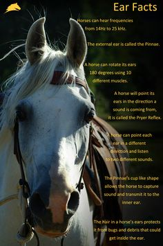 Horse Infographic facts sheet all about EARS! Re-pin if you learned something! www.parelli.com Horse Facts, Facts About Horses, Horse Information, Horse Care Tips, Horse Camp, Horse Gear, Horse Anatomy, Natural Horsemanship, Horse Grooming