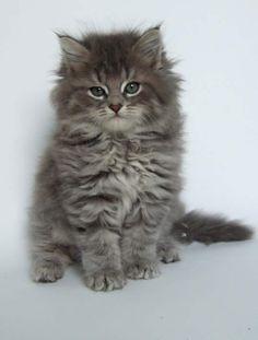 Silver Siberian Kitten