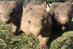 three wombats
