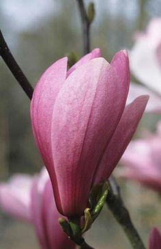 Le magnolia 39 tulipe noire 39 au jardin de willemse for Jardin willemse