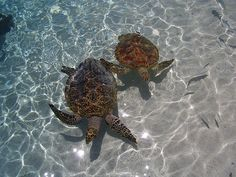 Turtles in Bora Bora. Honeymoon destination. Clearly.