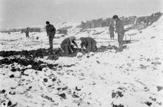 1st Cameronians digging potatoes from a field on the edge of which their trench was conveniently situated. 20th November 1914, Houplines Sector.