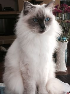 #animals #cats #submission Looks like my blue point himalayan Mandy, who died about 3 years ago.