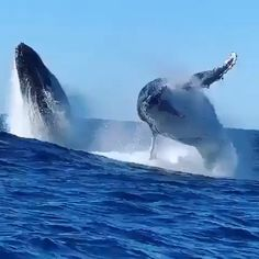 Humpback Whale Facts, Habitat and Migration - Belezza,animales , salud animal y mas Humpback Whale Facts, Whale Migration, Amazing Beasts, Wale, Water Life, Ocean Creatures, Killer Whales, Fauna, Ocean Life