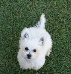 Silkese puppy (1/2 Maltese, 1/2 Silky Terrier)