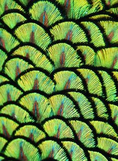 Close-up of the iridescent green feathers on the upper back of a Peacock [Pavo cristatus]; by Michael Fitzsimmons on in nature Natural Structures, Natural Forms, Natural Texture, Patterns In Nature, Textures Patterns, Nature Pattern, Organic Patterns, Graphisches Design, New Blue