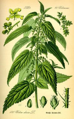 Stinging Nettle, Urtica dioica. Nettle tea is well-known for drinking in the spring as a blood tonic.