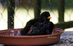 Young blackbird bathing
