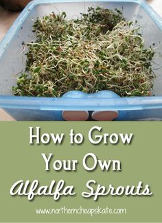 Learn how to grow your own alfalfa sprouts with this easy method.