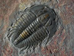 Trilobite fossil Fosterginger.Pinterest.ComMore Pins Like This One At FOSTERGINGER @ PINTEREST No Pin Limitsでこのようなピンがいっぱいになるピンの限界