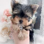 Toy or Teacup Yorkies for sale   Teacup Puppies & Boutique Micro Teacup Yorkie, Teacup Yorkie For Sale, Yorkies For Sale, Yorkie Puppy For Sale, Toy Yorkie, Biewer Yorkie, Wire Fox Terrier Puppies, Toy Yorkshire Terrier, Terrier Breeds